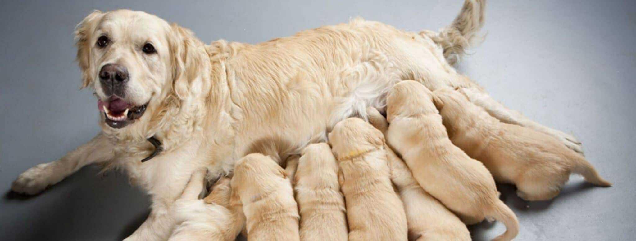Read more about the article Gestation chez la chienne : quels sont ses besoins ?